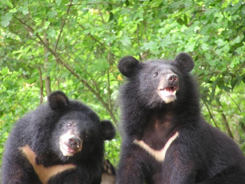 玉山國家公園塔塔加遊憩區,首度有台灣黑熊出沒,成為塔塔加首例。圖為示意照。(玉管處提供)