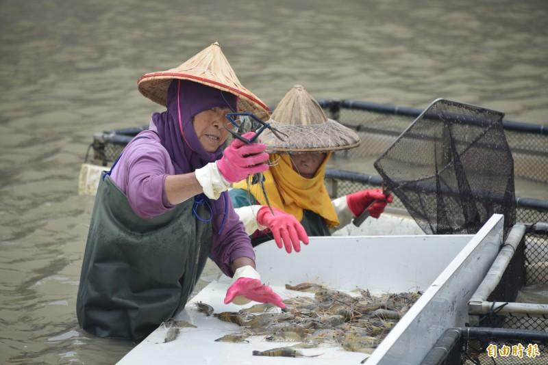 國家同步輻射研究中心團隊指出,蝦子具有非常重要的經濟價值。(資料照)