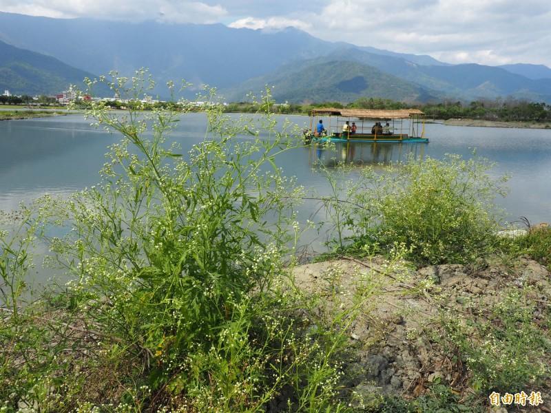 池上鄉大坡池是國家級重要濕地,池中便道卻遭銀膠菊入侵。(記者王秀亭攝)