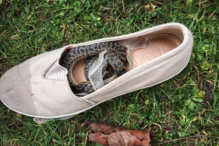 一條斑點蟒蛇從澳洲昆士蘭偷渡上飛機,抵達蘇格蘭格拉斯哥,還在女鞋內蛻皮。(取自網路)