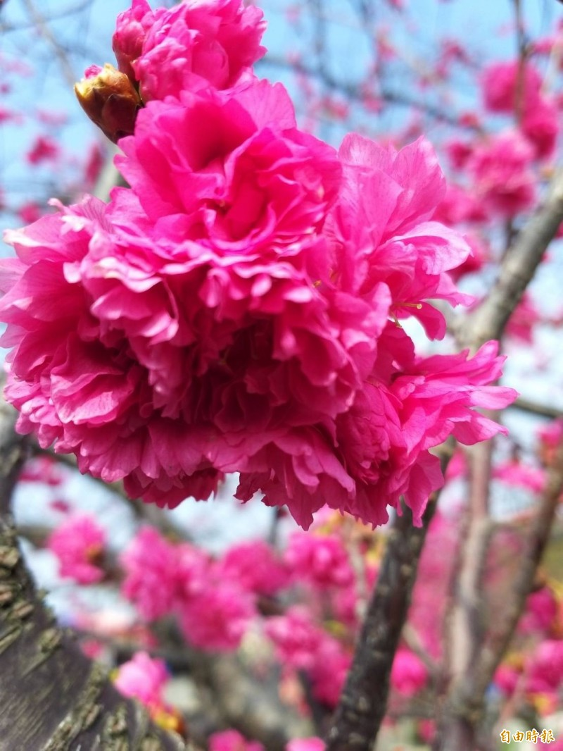 泰安櫻花盛開,228連假賞櫻正是時候。(記者歐素美攝)