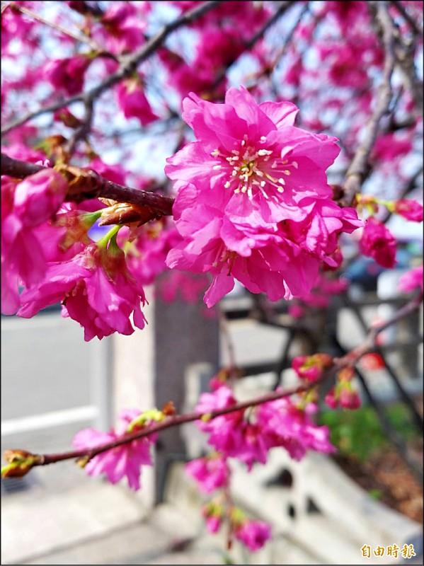 泰安派出所櫻花綻放。(記者張軒哲攝)
