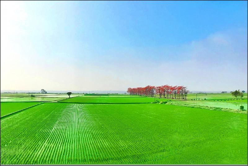 竹塘的木棉花道,紅綠相映下,更顯春意盎然。(記者顏宏駿攝)