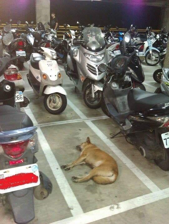 有網友發現在幾乎停滿的停車場,有一格遭「狗狗肉」霸占,安穩睡在正中央,令人看了發笑「停好停滿!」(圖擷取自臉書社團「爆廢公社」)