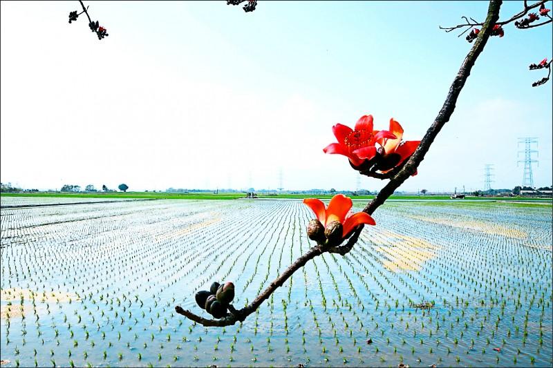 碧綠的稻田襯托木棉花的火紅,讓人感受到大自然的春之饗宴。(記者李惠洲/攝影)