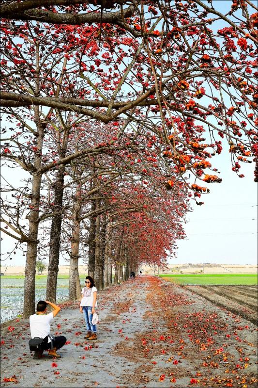 在竹塘木棉道秘境賞花,不用擔心與車爭道,網美們可以安心拍個夠。(記者李惠洲/攝影)
