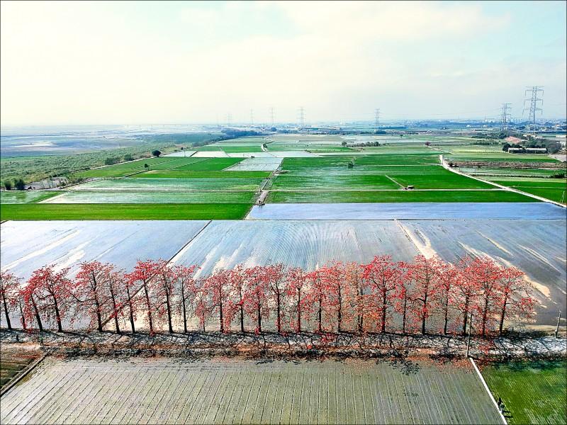 空拍機拍攝下竹塘木棉道美景,從天空鳥瞰稻田中的火紅木棉別具一番風情。(記者李惠洲/攝影)