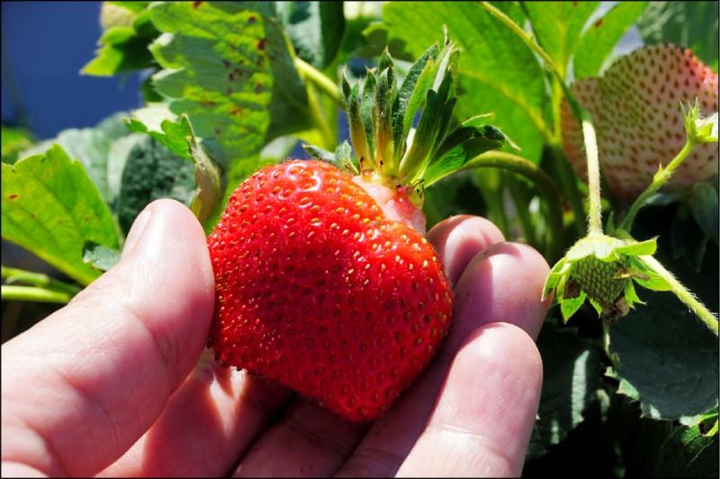 學者建議父母帶著小孩品嚐真正的草莓,並且教導小孩「食品」和「食物」的差別。(資料照)