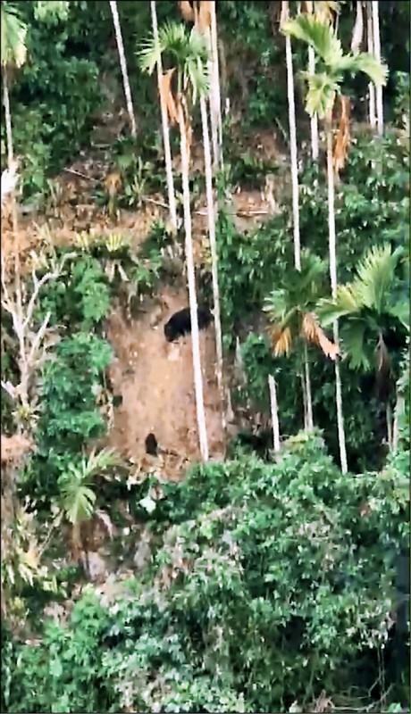海拔不及600公尺的阿里山林業鐵路樟腦寮2號隧道下方,發現2隻疑似台灣黑熊親子檔,出現在如同峭壁般的崩坍山坡上。(圖:取自網路)