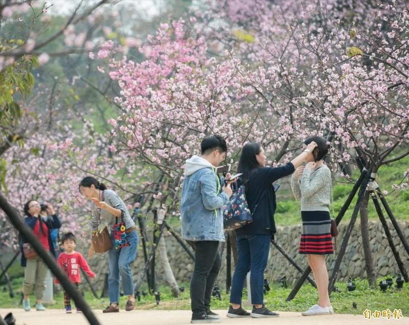 來新竹市賞櫻,絕不能錯過位於火車站周邊、易達性最高、櫻花面積最大的「新竹公園」,該處去年改造完工後,擁有全新的日式庭園,碰上連假期間河津櫻盛開,更是人潮滿滿。(記者王駿杰攝)