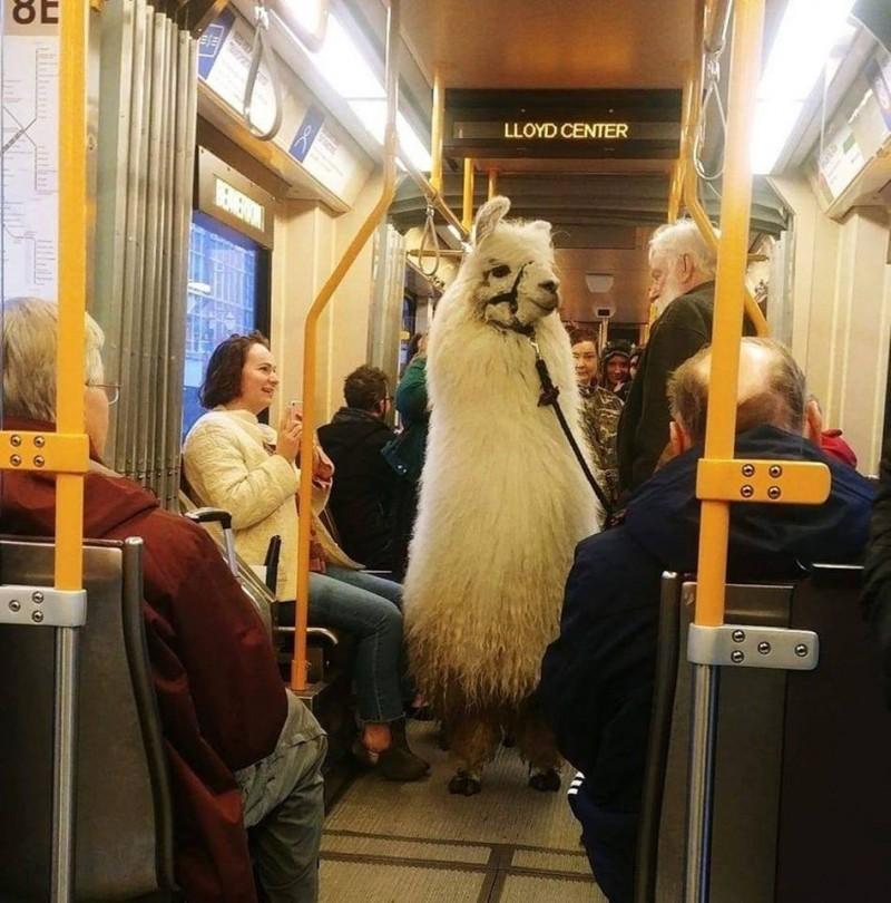 美國波特蘭輕軌出現羊駝乘客,讓不少人都看呆了。(圖擷自TriMet臉書)