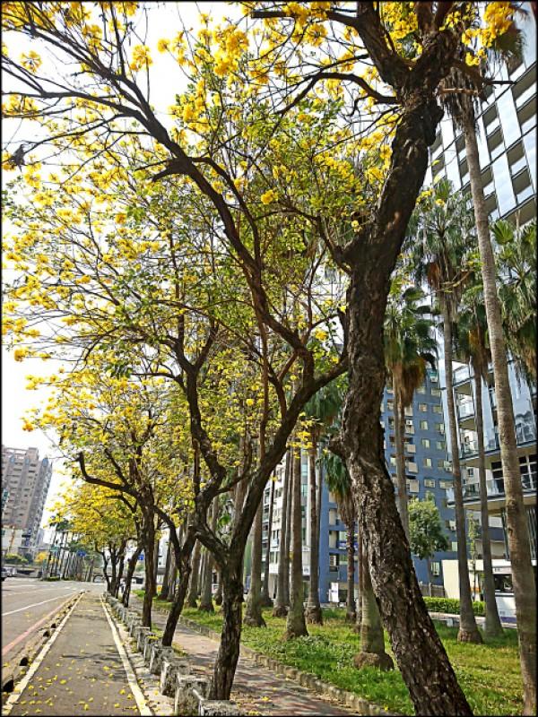 站在路旁仰望著朵朵黃花風鈴木,襯著明亮天光美不勝收!(本報資料照,圖中非今年花況)