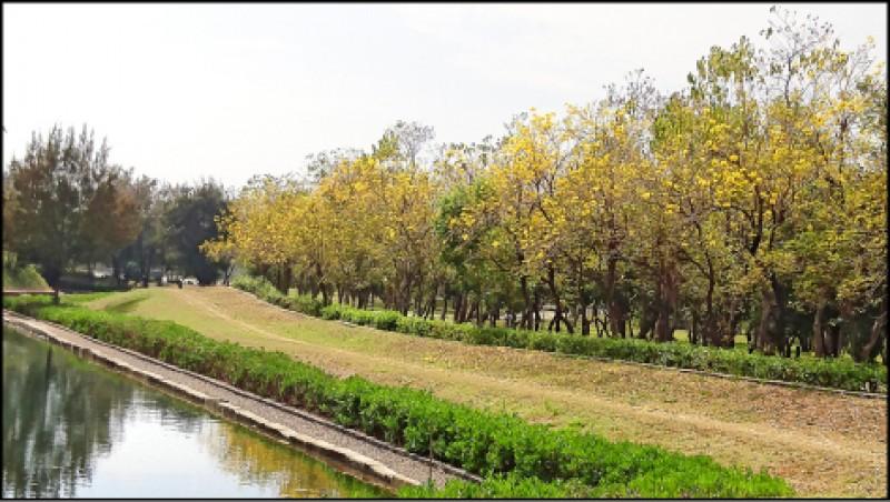從億載金城內隔著護城濠望向對岸,能欣賞到不同視角的黃花風鈴木。(本報資料照,圖中非今年花況)