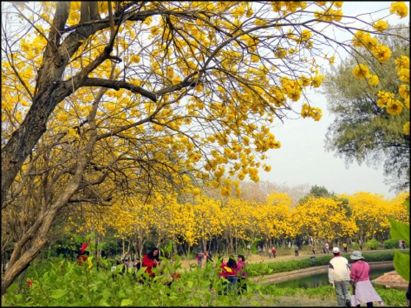 緊鄰億載金城北側護城濠種植的黃花風鈴木,不僅整齊排列且相當密集, 是最佳拍攝位置!(本報資料照,圖中非今年花況)