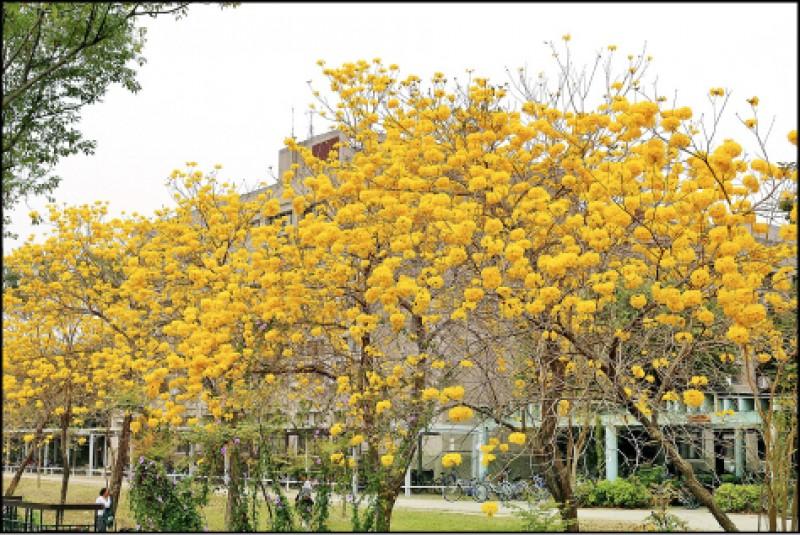 鄰近操場後方的成排風鈴木,同時開花時將串連成一片金黃。(圖中非今年花況)(本報資料照)