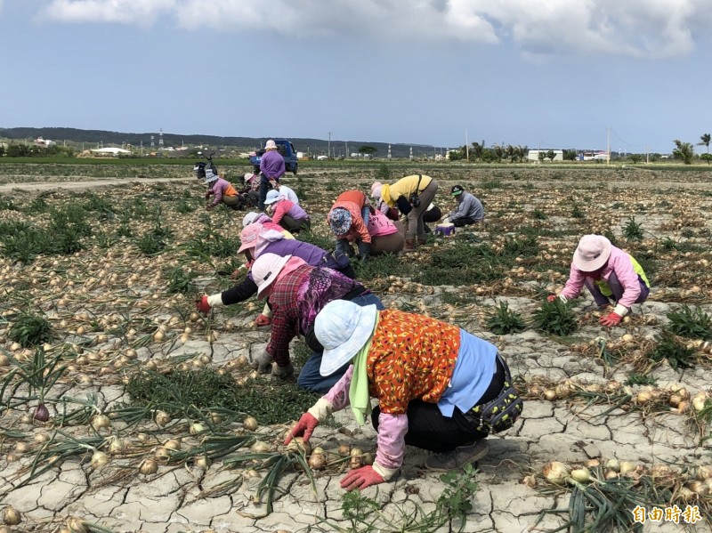 恆春半島洋蔥因暖冬縮小不少。(記者蔡宗憲攝)
