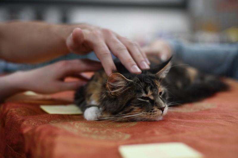 假如平常愛被摸的貓咪變得不願被撫摸,這可能代表貓咪健康出了問題。(歐新社)