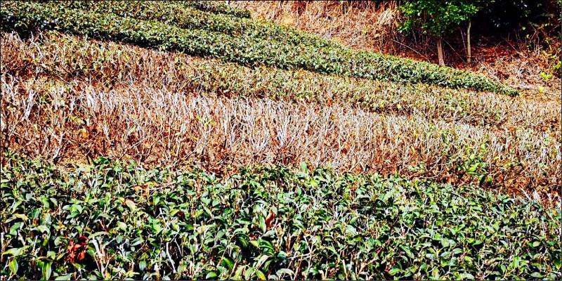 嘉義縣許多茶樹枯死,山坡地枯黃一片令人怵目驚心。(記者蔡宗勳翻攝)