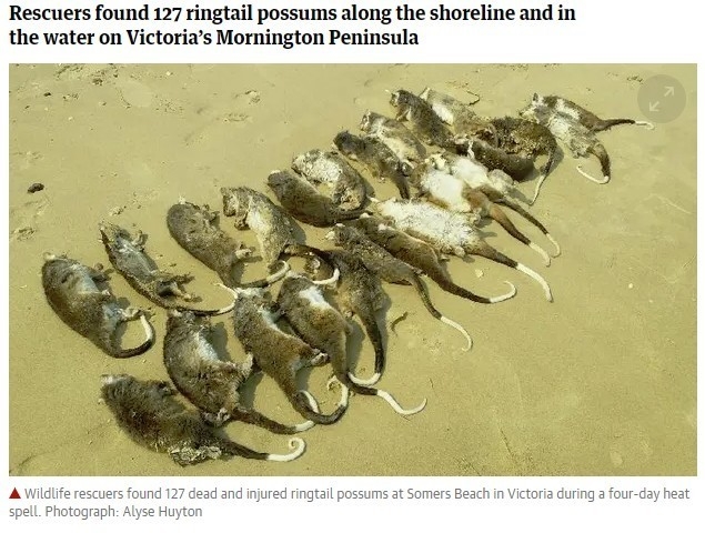 澳洲一處海灘上,最近被發現超過100隻負鼠集體死亡的屍體,這些負鼠在死前甚至渴到想去喝海水。圖為負鼠示意圖。(圖擷自衛報)