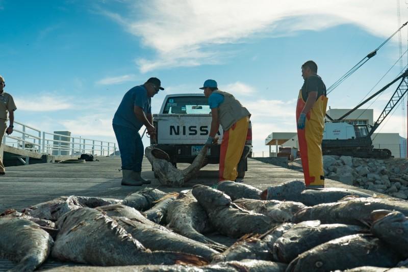 墨西哥加利福尼亞灣石首魚被列為極度瀕危物種,但石首魚的魚鰾被中國人認為可以治癒關節炎等疾病,因此以各種手段捕撈並走私。圖為另一起案件中,走私者盜捕石首魚被當場破獲。(法新社)