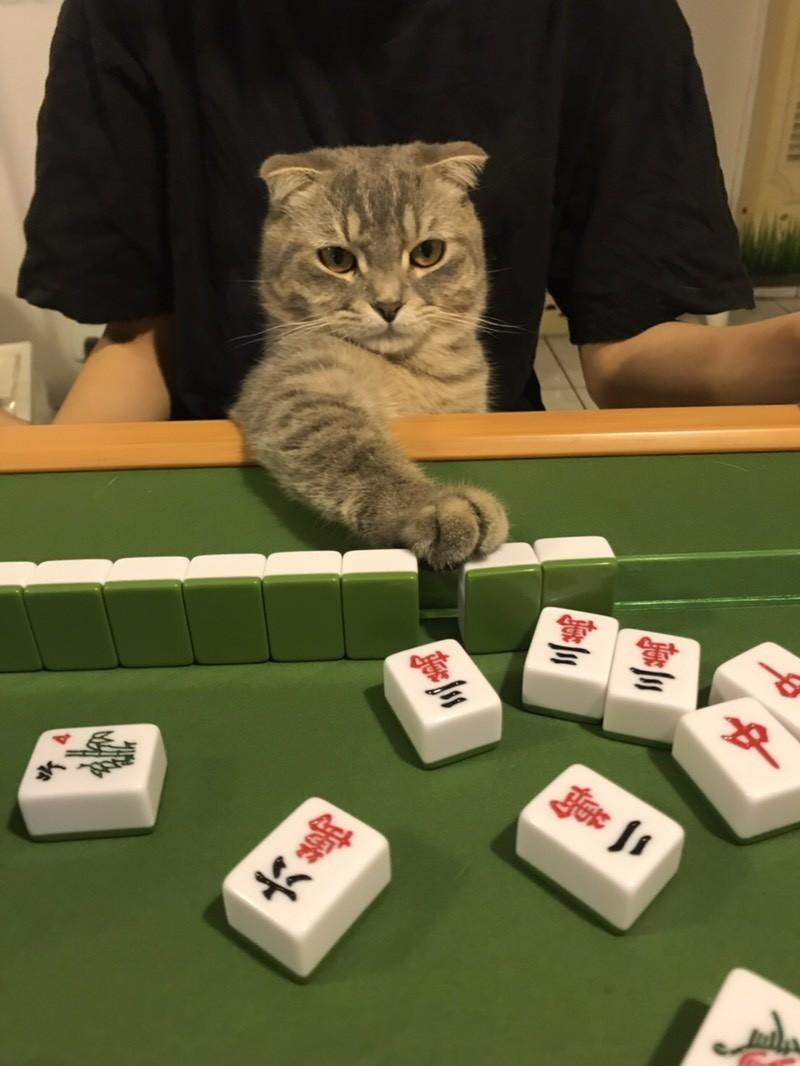 有網友就分享了自家貓咪坐在麻將桌前,相當有架式的模樣,萌翻許多網友。(圖擷取自Dcard)
