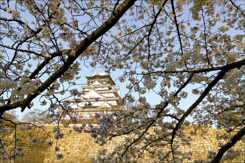 圖為二○一八年三月二十八日大阪市「大阪城西之丸庭園」中,櫻花開花的美麗景致。每年春天,該庭園約六百棵櫻花競放,乃日本賞櫻名勝,吸引賞櫻客流連忘返。(彭博檔案照)