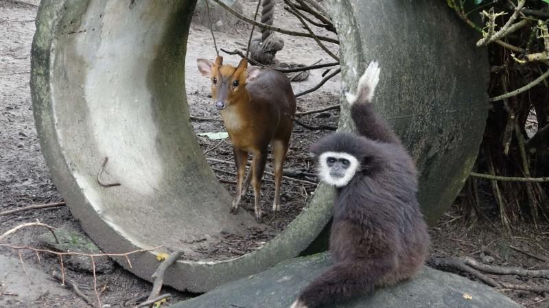 台北市立動物園是不少大小朋友假日休閒的好去處,有眼尖民眾發現,住著長臂猿一家四口的長臂猿島,竟還住有一隻山羌。(台北市立動物園提供)