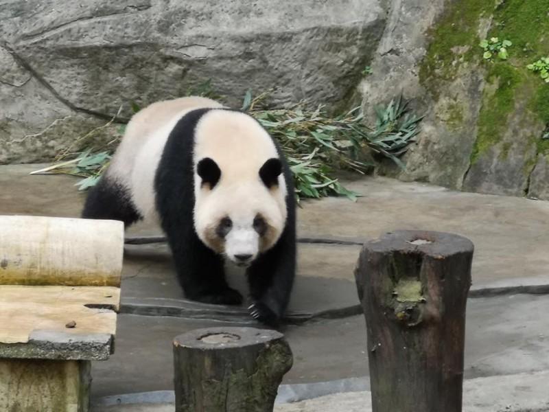 高雄市政府今天證實有兩隻中國貓熊「融融、雄雄」將到高雄壽山動物園。(圖擷取自潘恆旭臉書)
