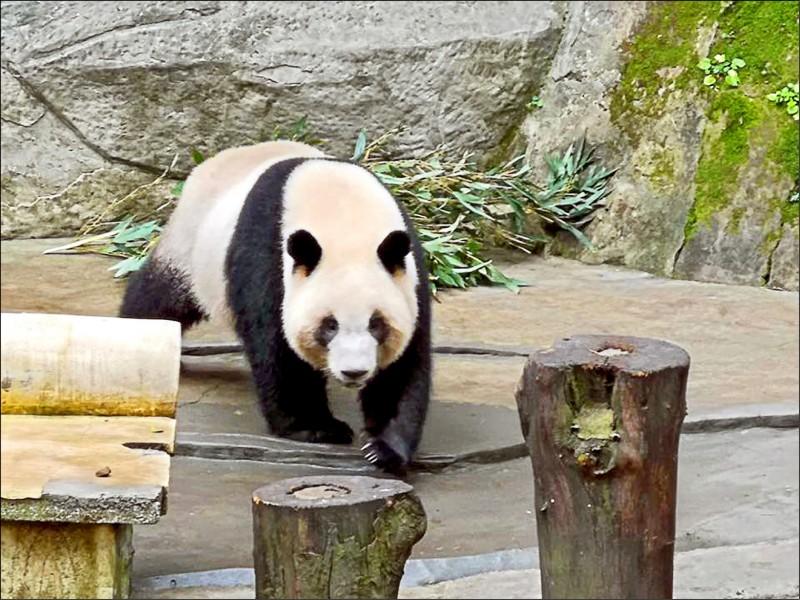 中國重慶動物園有意送兩隻貓熊給高雄壽山動物園。(取自潘恆旭臉書)