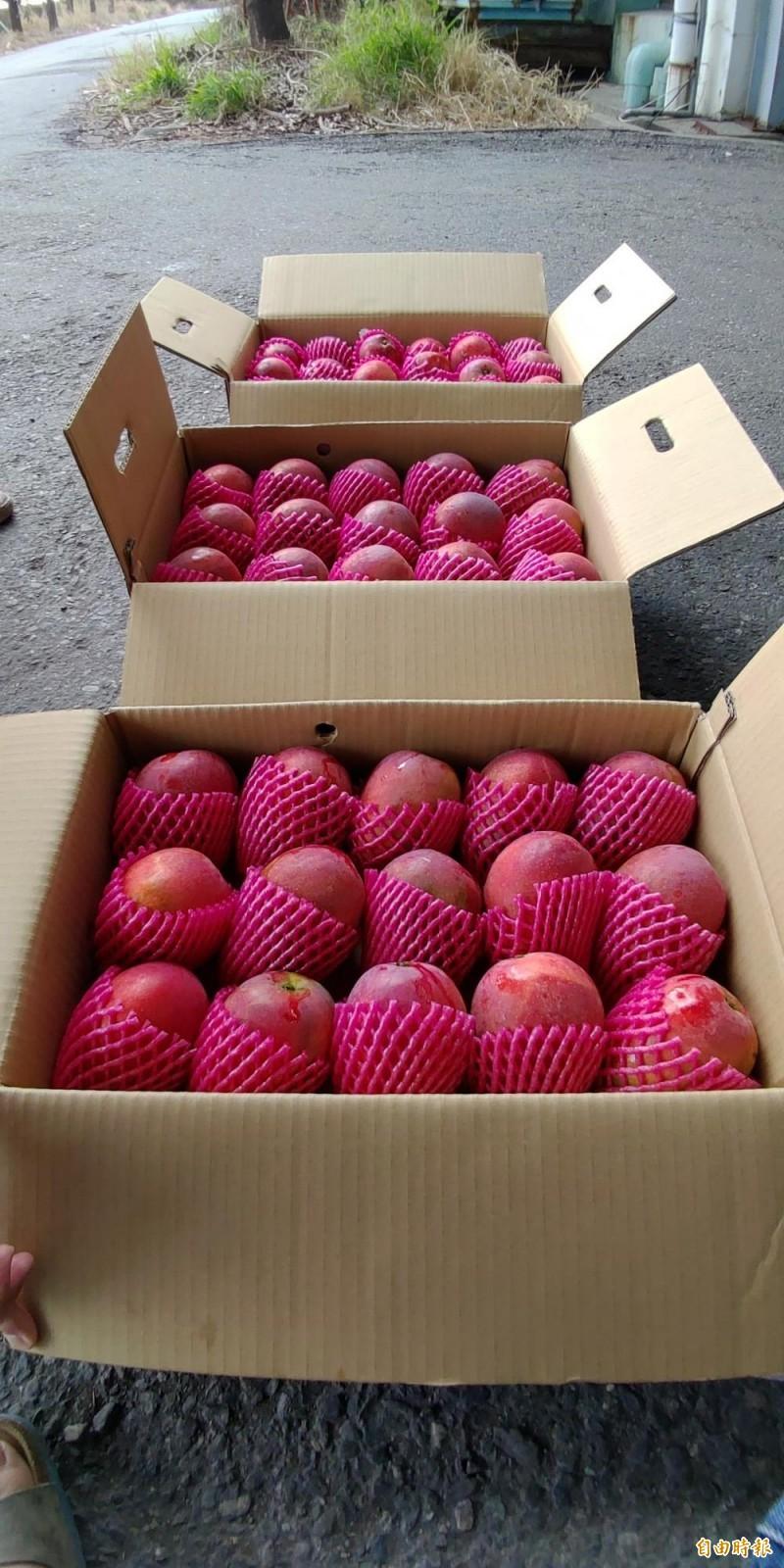 枋寮芒果今年提早出產,品項漂亮又大顆。(記者陳彥廷攝)