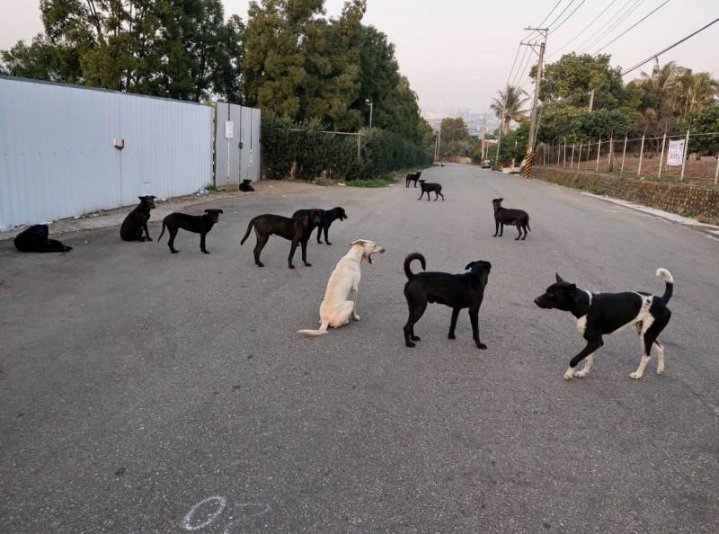 彰化市台鳳路山坡有大批狗群徘徊。(記者湯世名翻攝)