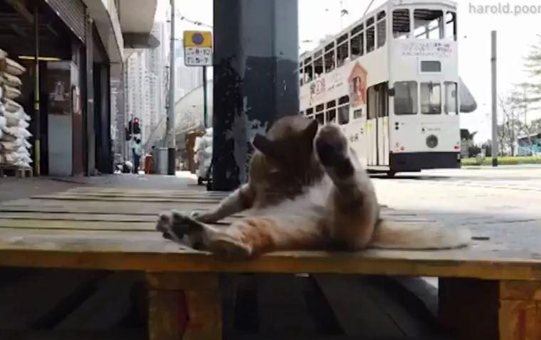 一隻虎斑貓躺在街頭、用舌頭不斷舔著自己的肚子。(圖擷自IG)