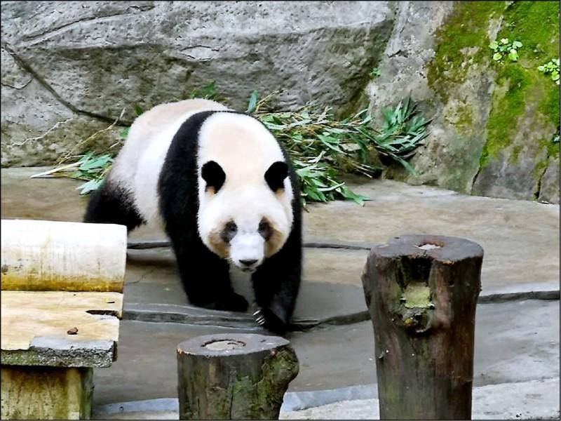 中國人大代表許沛表示,送貓熊給高雄,是她個人建議,是否可以送去高雄,「一定是中央層面決定的」。(圖擷自潘恆旭臉書)