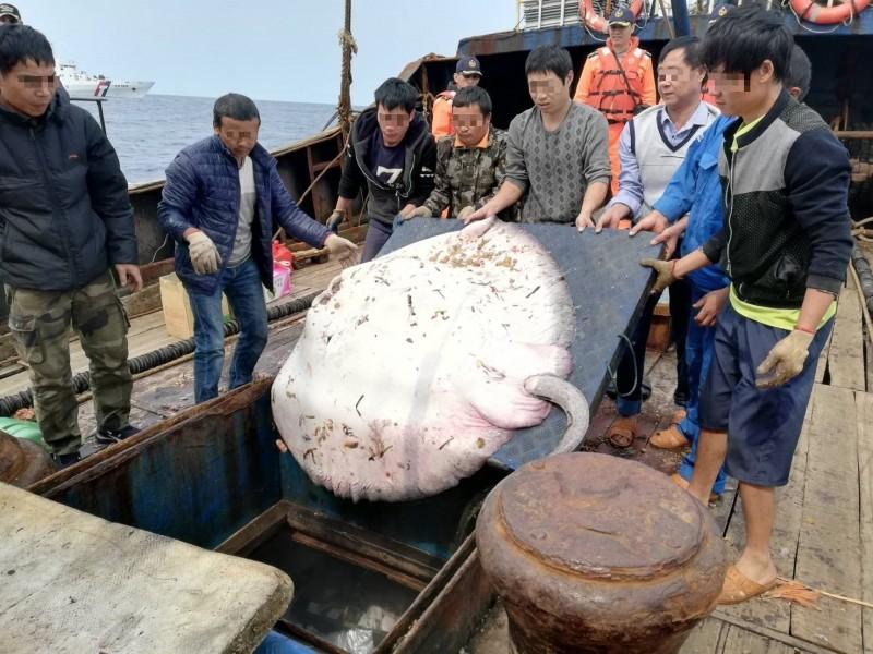 遭中國漁民濫捕的魟魚。(記者洪定宏翻攝)