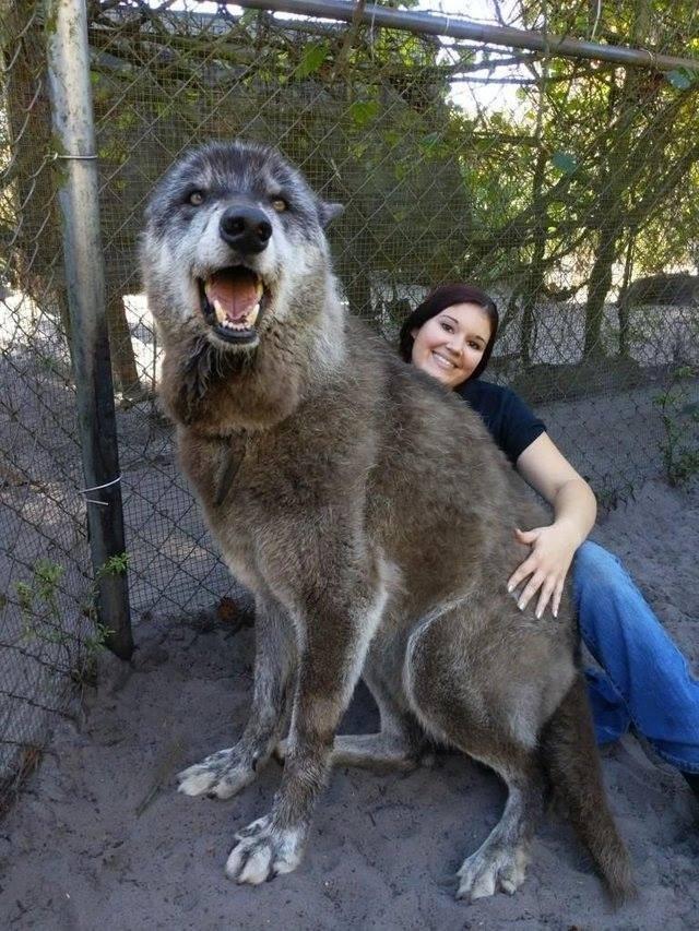 美國佛羅里達州超大狼犬Yuki讓網友嚇傻。(圖擷自Weird Facts臉書)
