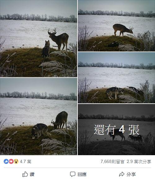 主人調閱監視器,發現哈士奇在失蹤的幾天,不僅自己跑去森林玩耍,還和一頭雄鹿變成好朋友!(圖擷取自「Rachel Howatt」臉書)