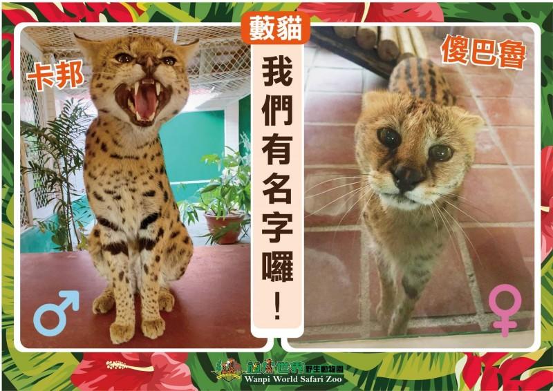 位在台南市的頑皮世界野生動物園在2月28日至3月10日舉行「藪貓命名票選活動」,希望透過投票選出藪貓的名字;這2隻可愛藪貓最後也被分別命名為「卡邦」與「傻巴魯」。(圖擷取自頑皮世界野生動物園專頁)