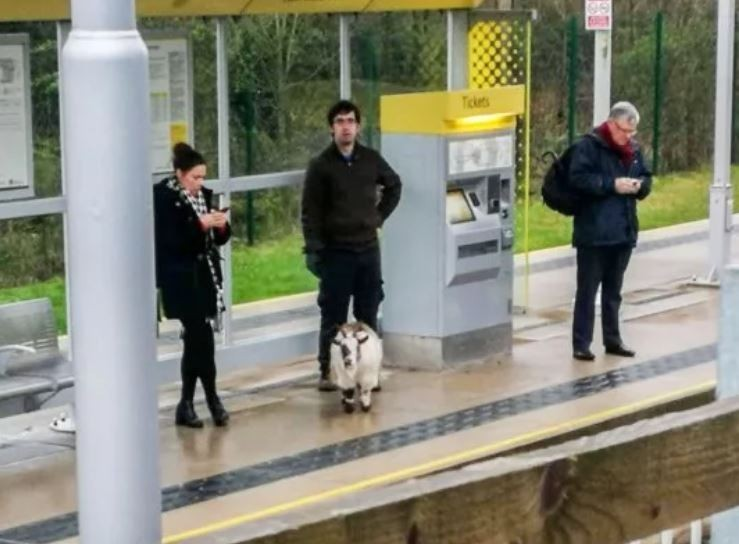 英國一隻山羊在11日失蹤,幾天後在離家25英里的一個車站被尋獲,而且當時牠還在車站等電車。(圖擷自9GAG)