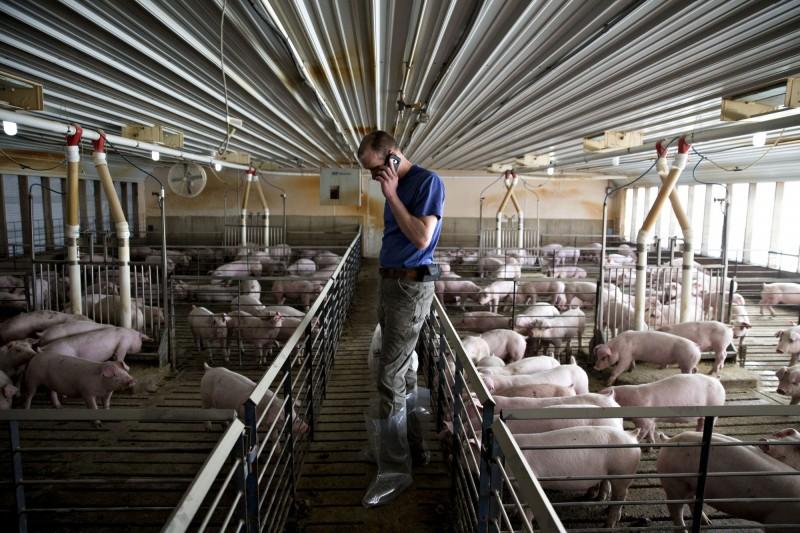 隨著中美貿易戰,美國豬肉也因為中國課下高達62%的關稅,導致出口至中國的數量銳減;但由於中國的非洲豬瘟疫情至今仍遲遲不見消退,只能繼續向美國進口豬肉。圖為美國的養豬場。(彭博)