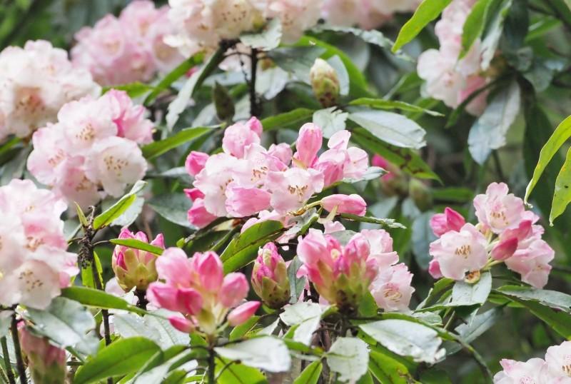 玉山塔塔加園區早花玉山杜鵑已盛開,粉白花朵相當優雅漂亮。(玉管處提供)