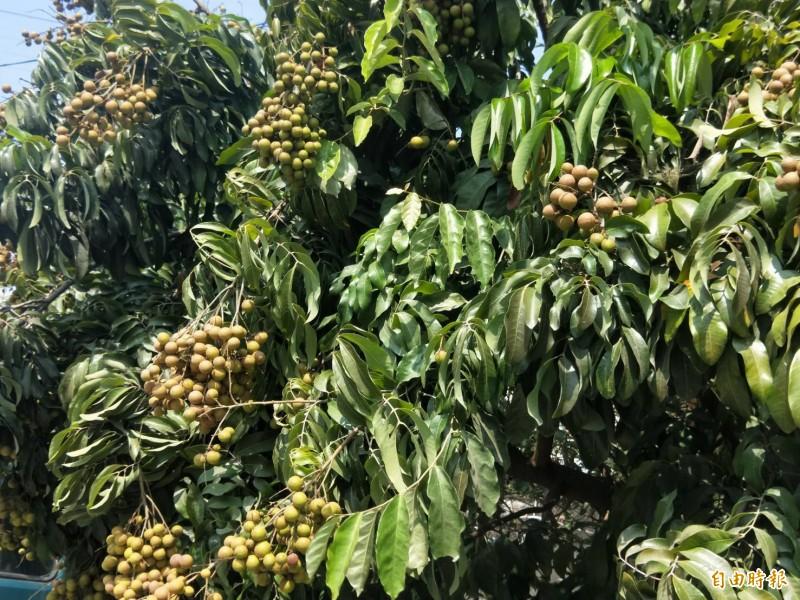 台南善化一處民宅旁的龍眼樹竟已結實累累,讓地方居民相當驚訝。(記者萬于甄攝)