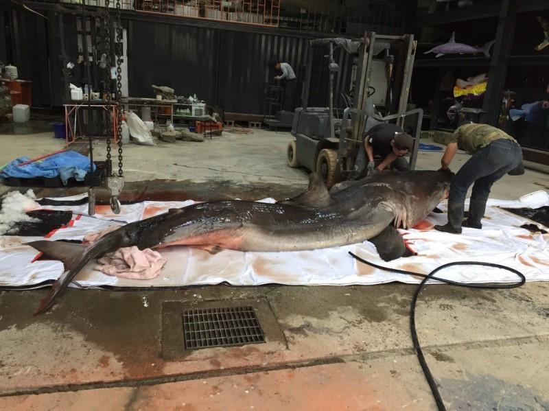 大白鯊長達4.7公尺。(陳三發提供)