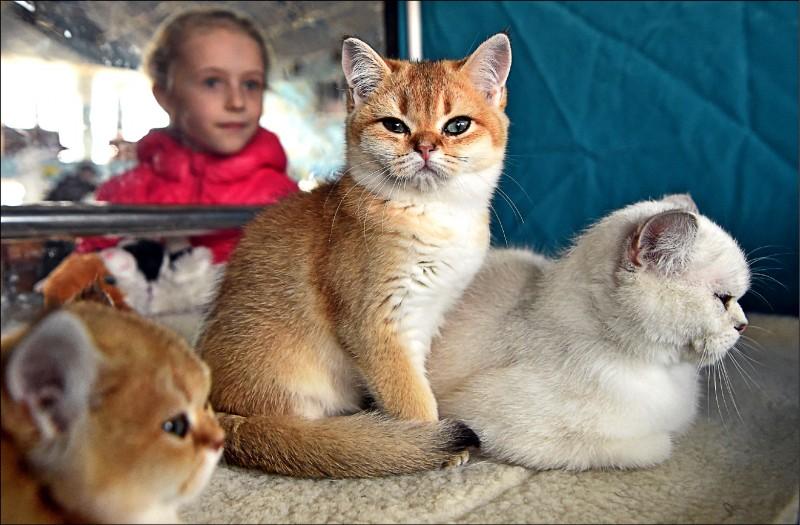 美國農業部(USDA)農業研究局(ARS)為了研究弓形蟲感染症,一九八二年起竟拿染病的貓隻器官當貓食,餵給八週大的百隻實驗幼貓吃。圖為吉爾吉斯首都二日貓展上的可愛小貓,僅供示意,與本文內容無直接關聯。(法新社)