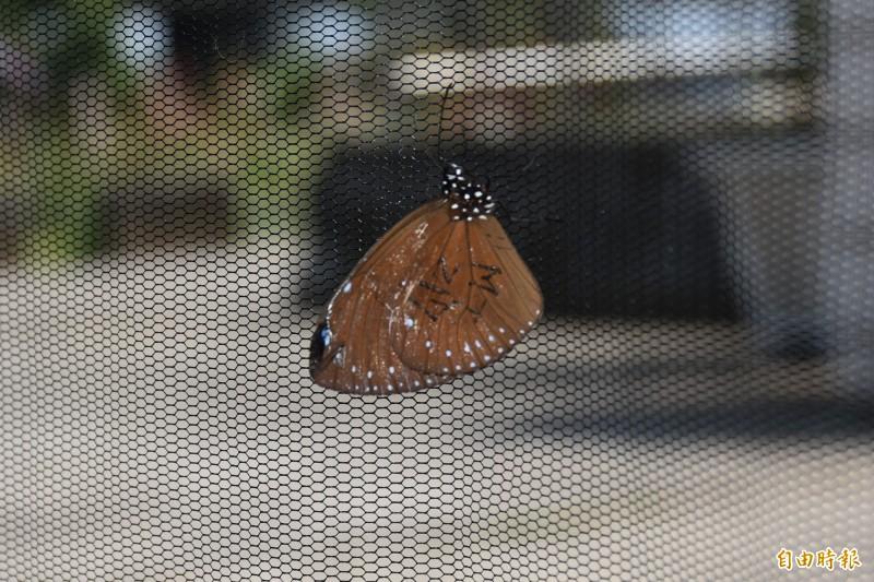 奇蹟!這隻紫斑蝶花33天飛100公里 從茂林飛到林內