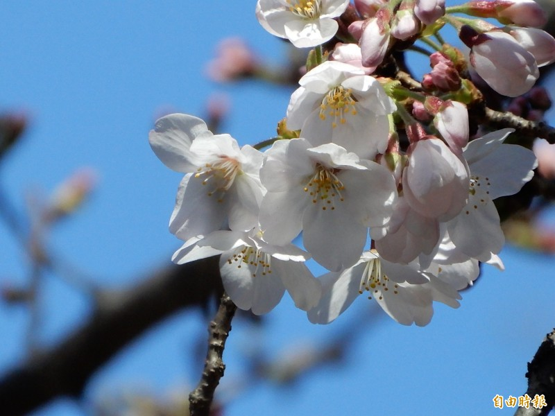 東京靖國神社染井吉野櫻標本木21日上午開滿5朵,宣告今年東京櫻花季到來。(記者林翠儀攝)