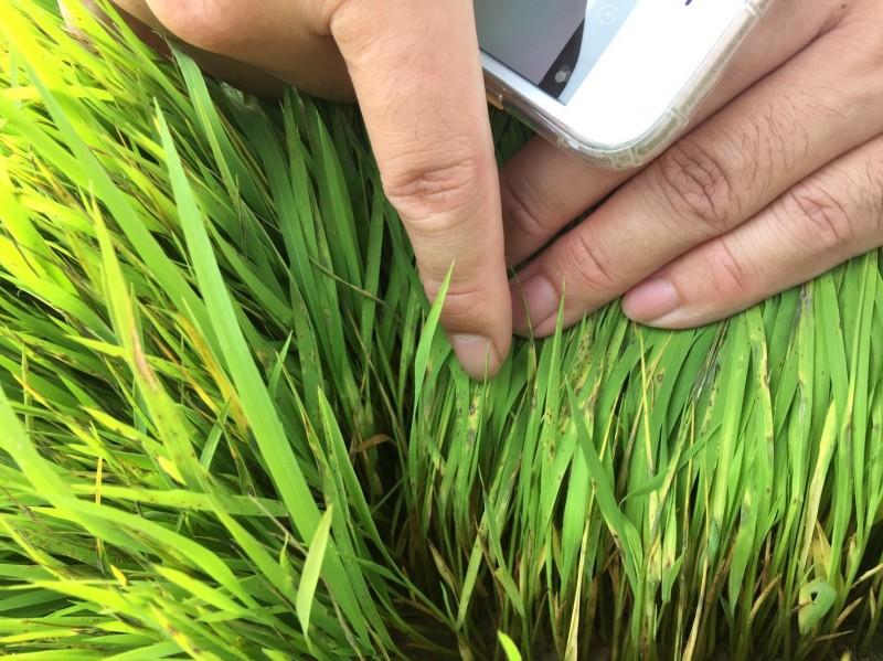 春耕放水量不足 苑裡40公頃秧苗受害
