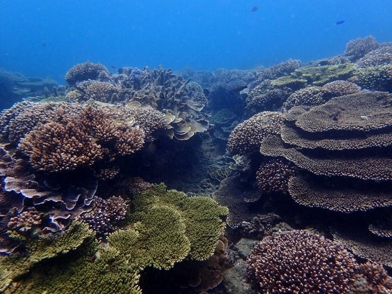 帛琉政府開始培育耐高溫的超級珊瑚,保護珊瑚免於滅絕。(帛琉海管處提供)