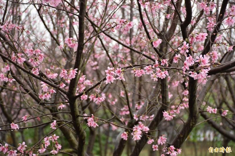平鎮私有櫻花林祕境一片粉紅攬客 地主這樣說…