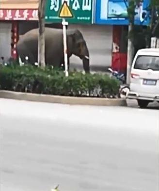 中國雲南省勐海縣近日進入野象的發情期,有公象因為找不到母象交配,闖入當地村莊搗亂,沿路踹車、損毀房屋。(圖擷取自《梨視頻》)