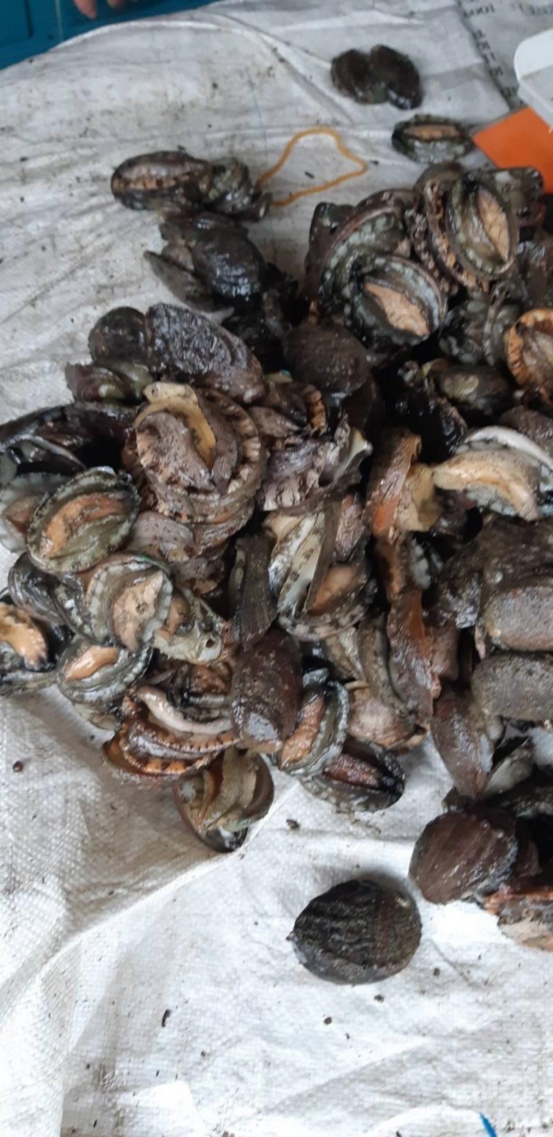貢寮鮑受中國傾銷影響,業者估計還有約12萬台斤賣不出去。(新北市鮑魚生產合作社理事主席吳勝福提供)